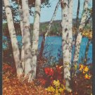 Golden Autumn View of a Stand of Lakeside Birch Trees Chrome Postcard 381