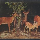 A Family of Deer at atomkins Cove New York Chrome Postcard 1264