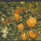 Branch Of A Florida Orange Tree Blooming And Bearing Fruit Chrome Postcard 1283