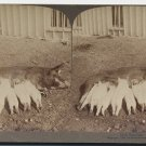 Antique Stereoview Mama Pig and Nursing Piglets Underwood & Underwood