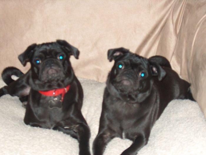 2 pugs