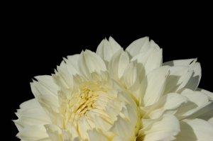 Photography Print - A4 - Cream Flower
