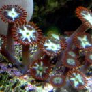 Ring of Fire Zoanthid
