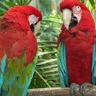 2 Parrots 8.5x11