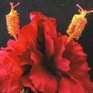 red Hibuscus