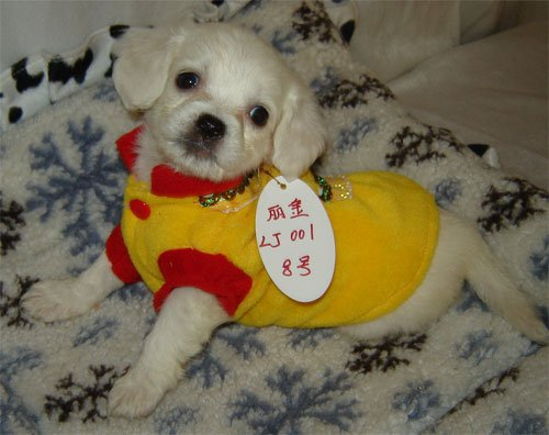 Chihuahua Dog Shirt X Small