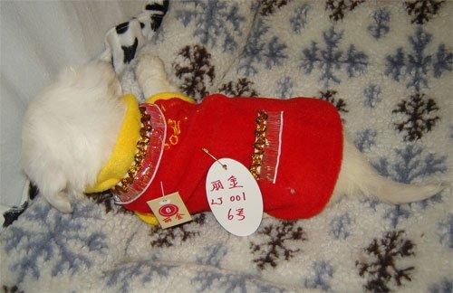 Sale Chihuahua Dog Shirt  X Small