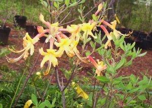Rhododendron Austrinum Florida Azalea Native Plant Shrub Gallon Yellow Orange Bloom