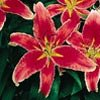 Oriental Lily***Strawberry Shortcake (5) Bulbs
