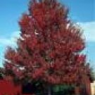 4 Hardy Red Maple Tree Seedlings**2'-3'