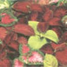 COLEUS** Brilliant Mix*****250 SEED!