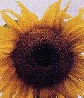 SUNFLOWER**CALIFORNIA GREYSTRIPE**HEIRLOOM****100 SEED!