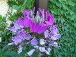 CLEOME SPARKLER-LAVENDER-SPIDER PLANT*****50 SEED!