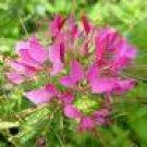 CLEOME SPARKLER-ROSE-SPIDER PLANT*****50 SEED!