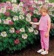CLEOME SPARKLER-MIX-SPIDER PLANT*****50 seed!