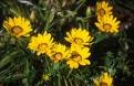 GAZANIA DAYBREAK-BRIGHT YELLOW*****125 SEED!