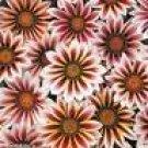 GAZANIA DAYBREAK-ROSE STRIPE*****125 SEED!