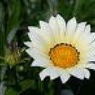 GAZANIA DAYBREAK-WHITE*****125 SEED!