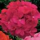 GERANIUM ORBIT-ROSE***********50 SEED!