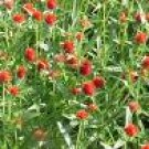 GOMPHRENA-STRAWBERRY FIELDS*****250 SEED!