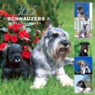 365 DAYS OF SCHNAUZERS 2007 WALL CALENDAR