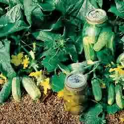CUCUMBER-BUSH PICKLING*****250 seeds!