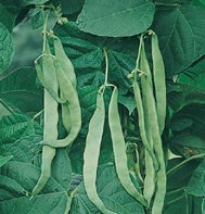 POLE BEAN-NORTHEASTER****80 SEED!