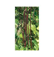 POLE BEAN-RED NOODLE**500 SEED!