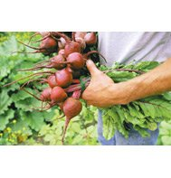 BEETS-RED ACE (ORGANIC)****2,500 SEED!