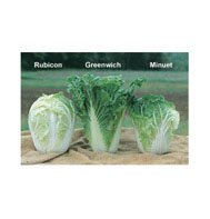 CHINESE CABBAGE-RUBICON*******500 SEED!