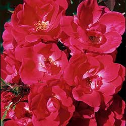 ROSE*KNOCKOUT RED*******SAVE 50%****(5) BAREROOT PLANTS