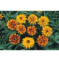 ZINNIA*OLD MEXICO********************2,500 SEED!