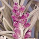 ENGLISH LAVENDER*HERB SEED******************2,500 SEED!