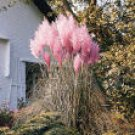 CORTADERIA*PAMPAS GRASS PINK****************500 SEED!