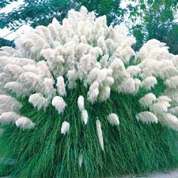 CORTADERIA*PAMPAS GRASS WHITE**************500 SEED!