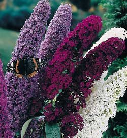BUDDLEIA  MIX*BUTTERFLY BUSH******************250 SEED!