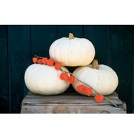 PUMPKIN*VALENCIANO***HEIRLOOM***100 SEED!