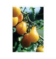 TOMATO*YELLOW PEAR*(CHERRY TYPE)**HEIRLOOM*****20 SEEDS!