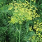 DILL*VIERLING*********************4,000 SEEDS!