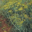 DILL*SUPERDUKAT*****************10,000 SEEDS!