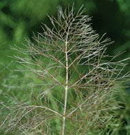 FENNEL*BRONZE***********ORGANIC*****2,500 SEEDS!