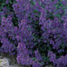 CATMINT***HERB****HEIRLOOM*****500 SEED