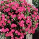 LOBELIA***MOON ROSE**********100 SEED