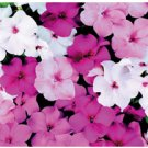 IMPATIENS**ACCENT SERIES**MYSTIC MIX*******50 SEED