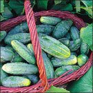 CUCUMBER**BUSHY****HEIRLOOM & ORGANIC****25 SEED
