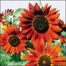 SUNFLOWER**VELVET QUEEN***HEIRLOOM***50 SEED