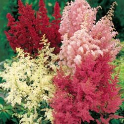 ASTILBE**BELLA MIX********************50 SEED