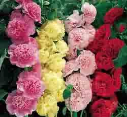 HOLLYHOCK**SUMMER CARNIVAL MIX*****50 SEED