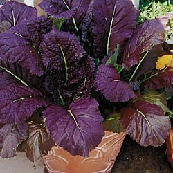 MUSTARD GREENS-RED GIANT****50 SEED