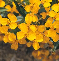 MEXICAN MINT MARIGOLD*******800 SEED